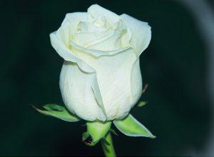 weisse-rose-grammy-1